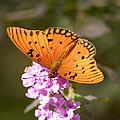 Gulf Fritillary Butterfly by Robert Camp