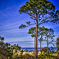 Gulf Pines by Marvin Spates