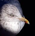 Gull #2 by Stuart Litoff
