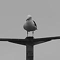 Gull Commanders by Robert Phelan