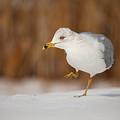 Gull Dance by Karol Livote