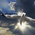 Gull Flying Under A Radiant Sunburst by Randall Nyhof