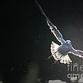 Gull In Flight by Karol Livote