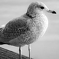 Gull On The Pier 2 by Anna Burdette