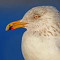 Gull Portrait by Dave Mills
