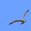 Gull Portraying An Owl by John M Bailey