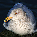 Gull Resting by Dave Mills
