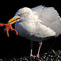 Gull With Starfish by Dave Mills