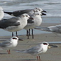 Gulls And Terns by Ellen Meakin