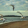 Gulls In Flight by Diana Powell