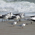 Gulls Terns Skimmers by Ellen Meakin