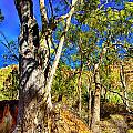 Gum Tree Ridge by Douglas Barnard