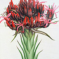 Gymea Lily by English School