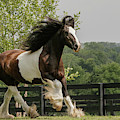 Gypsy Vanner Horse Running, Crestwood by Adam Jones