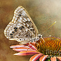 Hackberry Emperor Butterfly 2 by Betty LaRue