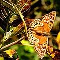 Hackberry Emperor Butterfly by Marilyn Burton