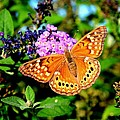 Hackberry Emperor Butterfly On Flowers by Marilyn Burton