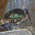 Hadada Ibis by Anthony Mercieca