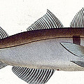 Haddock by Andreas Ludwig Kruger