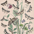 Hadenidae - Xylinidae by W Kirby