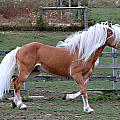Haflinger Stallion by Annette Persinger