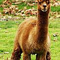 Hairy Brown Gumby Aka Brown Alpaca by Barbara Snyder
