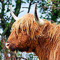 Hairy Coo by Trever Miller