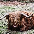 Hairy Cow by Elvis Vaughn