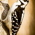 Hairy Woodpecker by Cheryl Baxter