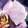 Half Orchid by Barbie Corbett-Newmin