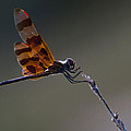 Halloween Pennant Dragonfly Perched by Ed Gleichman