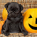 Halloween Pug by Greg Cuddiford