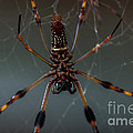 Halloween Spider by Dale Powell