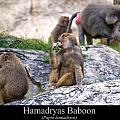 Hamadryas Baboon by Chris Flees