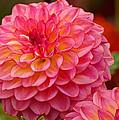 Hamari Rose - Dahlia by Jordan Blackstone