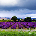 Hampshire Lavender Field by Terri Waters
