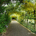 Hampton Court Palace Flower Tunnel by Deborah Smolinske