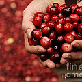 Handful Of Fresh Cranberries by Phil Cardamone