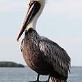 Handsome Brown Pelican by Carol Groenen