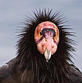 Handsome California Condor by Donna Doherty