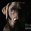 Handsome Chocolate Labrador by Justin Paget
