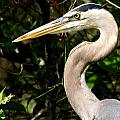 Handsome Heron by Larry Allan