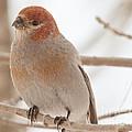Handsome Pine Grosbeak by Cheryl Baxter