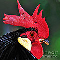 Handsome Rooster by Kaye Menner