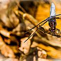 Dragonfly - Macro - Handstand by Barry Jones