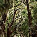 Hanging Moss And Giant Oaks by Adam Jewell