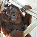 Hanging Out - Melati The Orangutan by Emmy Vickers