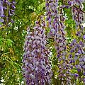 Hanging Wisteria Blossoms by Alys Caviness-Gober