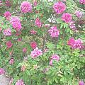 Hansa Roses by Alys Caviness-Gober