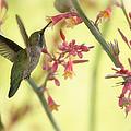 Happy As A Hummingbird  by Saija  Lehtonen